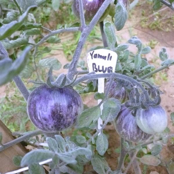 Yamali Blue