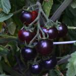 clackamas-blueberry-tomato