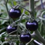 fahrenheit-blues-tomato