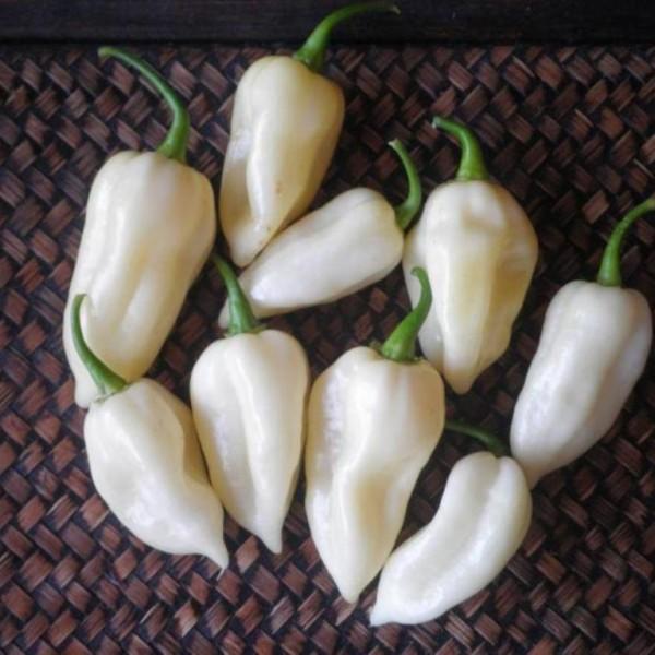 white bhut jolokia